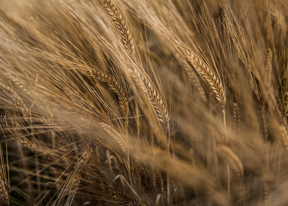 Making whisky starts with barley. But can the type used affect the end taste?